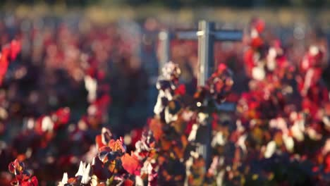 Selective-focus-shot-of-colorful-red-leaves-in-a-California-vineyard-1