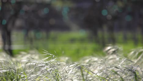 Close-up-selective-rack-focus-shot-of-blowing-grass-and-trellis-grape-vines