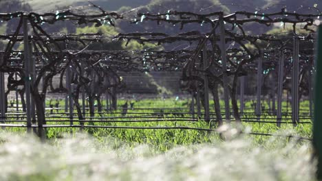 Close-up-selective-focus-shot-of-blowing-grass-and-trellis-grape-vines