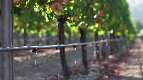 Medium-shot-of-a-vineyard-drip-irrigation-system-highlights-agricultural-water-usage-issues-1