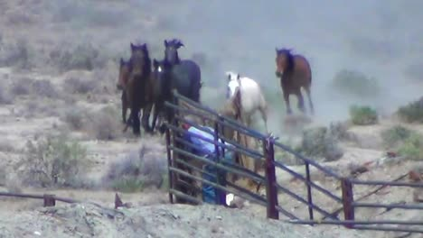 Wild-Horses-Are-Rounded-Up-By-Helicopter-2