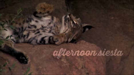 A-Bobcat-Sleeps-In-The-Heat-Of-Saguaro-National-Park-Arizona