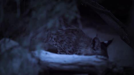 A-Bobcat-Looks-Alert-In-The-Night-In-The-Desert-Saguaro-National-Park-Arizona