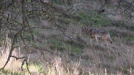 Ein-Kojote-Geht-Einen-Hang-Entlang