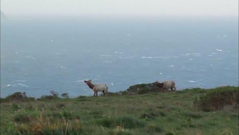 Tule-Elk-Pasear-Por-Una-Costa-De-California-Cerca-De-Point-Reyes