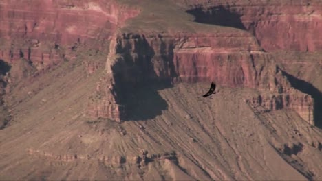 A-Turkey-Buzzard-Vulture-Flies-Over-The-Grand-Canyon