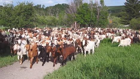 Cientos-De-Cabras-Abarrotan-Una-Zona-Rural
