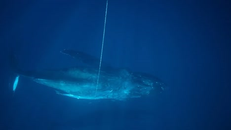 A-Humpback-Whale-Is-Cut-Free-From-Marine-Debris