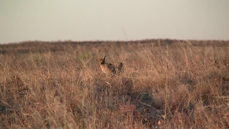 Raw-Footage-Of-The-Prairie-Chicken-In-The-Wilds-Of-Texas