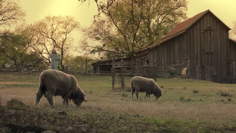Sheep-Graze-Near-A-Barn-In-A-Rural-Area