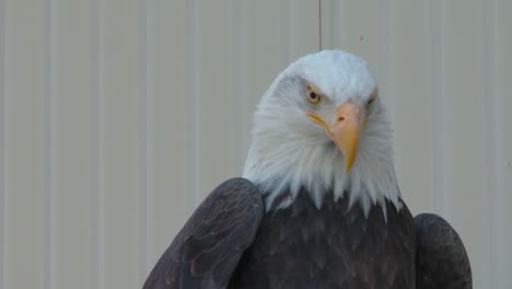 American-Bald-Eagles-Are-Raised-In-Captivity