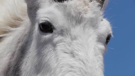 White-Mountain-Goats-Lounge-In-Glacier-National-Park-Montana
