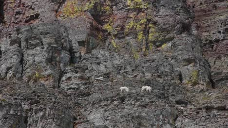 White-Mountain-Goats-Lounge-In-Glacier-National-Park-Montana-1