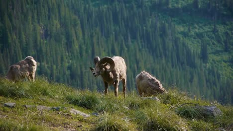 Mountain-Goats-Lie-In-A-Rocky-Mountainous-Area-In-Glacier-National-Park-Montana