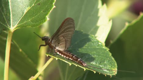 A-Winged-Insect-Eats-Its-Own-Kind
