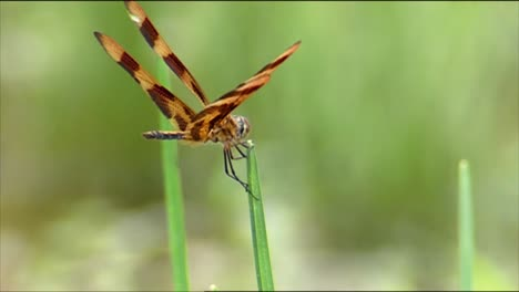 Closeups-Show-Dragonflies-And-Grasshoppers-Eating-Plants-And-A-Spider-Eating-A-Bug