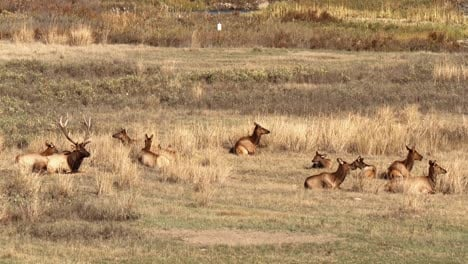 An-Elk-Wanders-From-Cluster-To-Cluster-As-His-Herd-Grazes