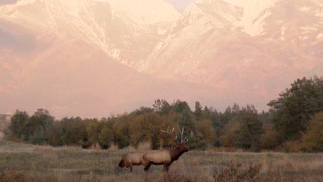 Se-Ven-Dos-Alces-Pastando-En-Un-Campo-Ante-Una-Majestuosa-Cordillera