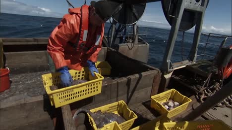 Trawlers-Sort-And-Weigh-Stingrays-Aboard-Their-Boat