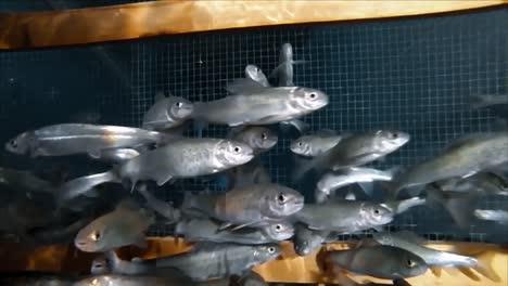 Western-Silvery-Minnows-Swim-In-A-Tank-At-The-Bozeman-Fish-Tecnología-Center