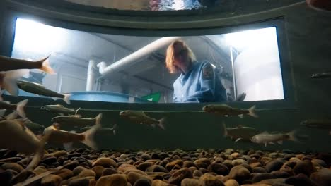 A-Camera-Inside-A-Minnow-Tank-At-The-Bozeman-Fish-Tecnología-Center-Shows-A-Usfws-Scientist-Observing-Them-As-They-Swim