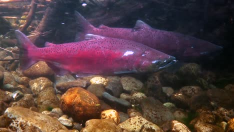 Large-Red-Fish-Fight-A-Strong-Current-In-Alaska