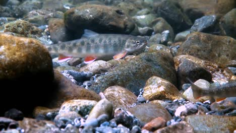 An-Underwater-Camera-Shows-Trout-Swimming-In-Alaska