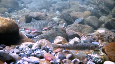 Trout-Fight-A-Strong-Current-In-Alaska