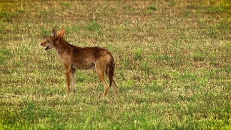 Se-Muestra-Un-Coyote-Aullando-En-Un-Campo-En-América-Del-Norte