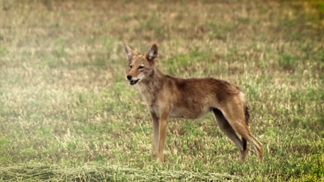 A-Coyote-Yelps-In-A-Field-In-North-America