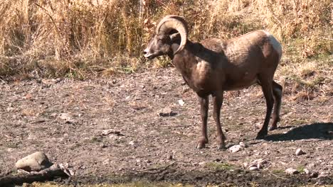 Sheep-Ram-Drinking-From-Water-On-A-Mountainside