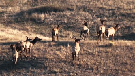 A-Herd-Of-Elk-Move-Along-A-Hillside-And-Graze