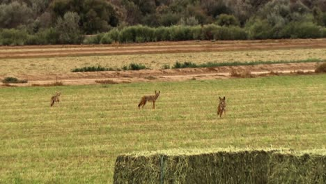 Yelping-Coyotes-Are-Shown-In-A-Field-At-A-Farm-With-Hay-Bales-In-North-America