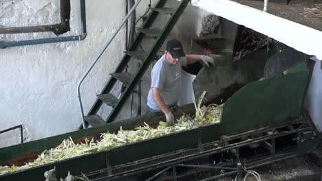 Madeira-Sugar-Cane-Mill-Crushed-Cane