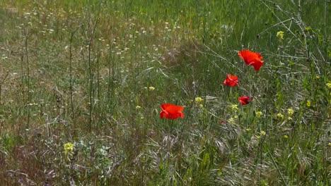 Spain-Ebro-Poppy-Detail