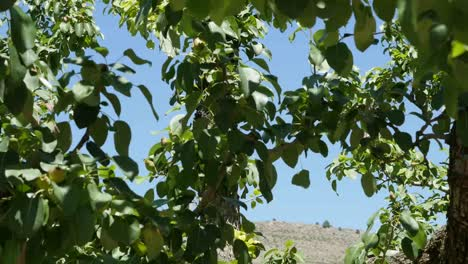 Spain-Meseta-Pear-Tree-Leaves