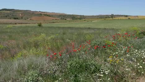Spain-Meseta-Poppies-And-Daisies-By-Wheat