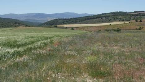Spain-Meseta-Poppies-And-Edge-Of-Wheat-Field