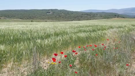 Spain-Meseta-Poppies-And-Wheat-Blowing-In-Wind