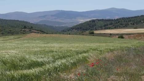 Spain-Meseta-Poppies-In-Wheat-Field-Landscape