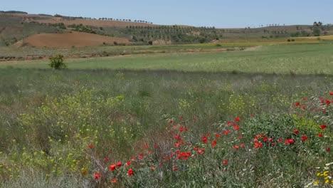 Spain-Meseta-Poppies,-Wheat,-And-Fields