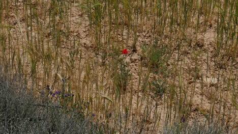 Spain-Meseta-Poppy-And-Wheat-Detail