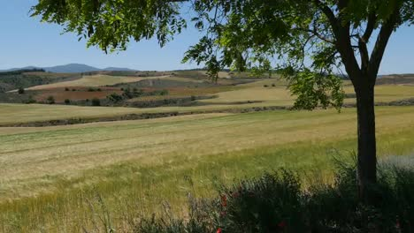 Spain-Meseta-Tree-Frames-Wheat-Field-View