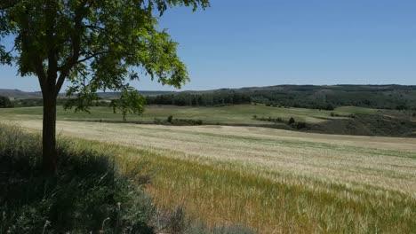 Spain-Meseta-Wheat-And-Tree-In-Rolling-Landscape