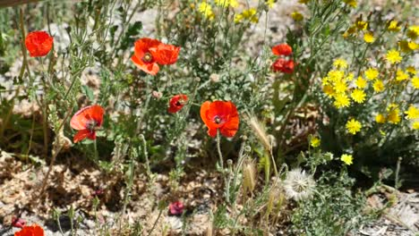 Spain-Poppies-And-Yellow-Flowers