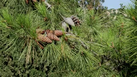 Greece-Crete-Pine-Cones-On-Tree