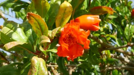 Greece-Crete-Pomegranate-Flower
