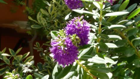 Greece-Crete-Purple-Flower-In-Garden