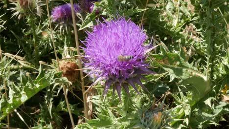 Greece-Crete-Purple-Thistle-With-Bee