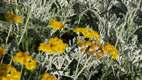 Greece-Crete-Yellow-Flowers-With-Insects